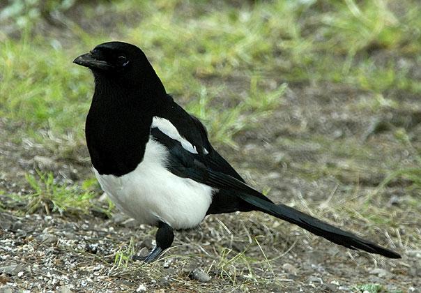 Pie bavarde for Oiseau commun